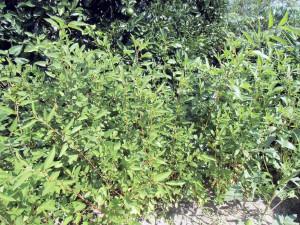 庭の畑のモロヘイヤ
