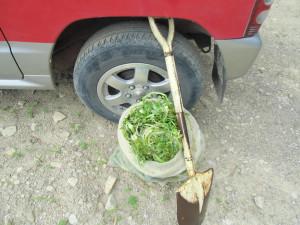 クレソン栽培作業-土嚢で運んで植え付け